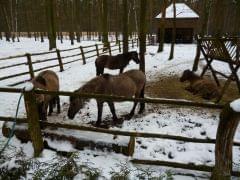 Gołuchów - koniki polskie w Gołuchowskim parku