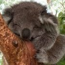 koalafornication