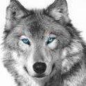 Szary_wolf